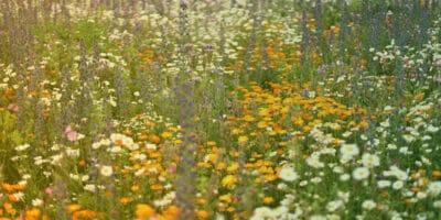 Blühwiesen für die Altmark